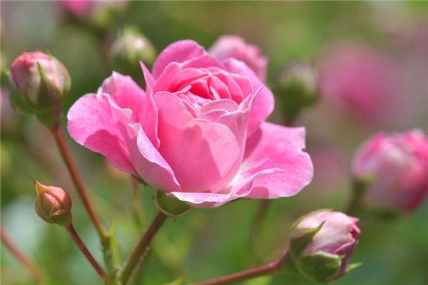 梦见蔷薇_周公解梦梦到蔷薇是什么意思_做梦梦见蔷薇好不好