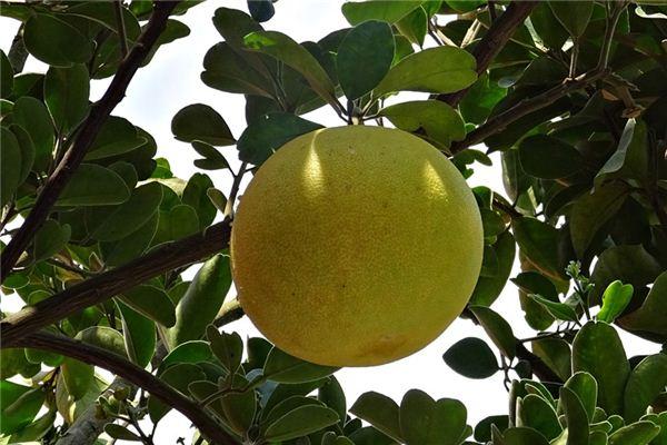 梦见柚子树_周公解梦梦到柚子树是什么意思_做梦梦见柚子树好不好