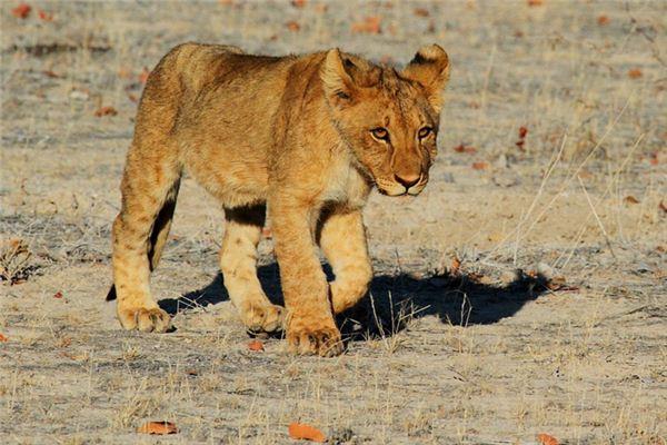 梦见狮子_周公解梦梦到狮子是什么意思_做梦梦见狮子好不好
