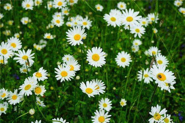 梦见白菊花_周公解梦梦到白菊花是什么意思_做梦梦见白菊花好不好