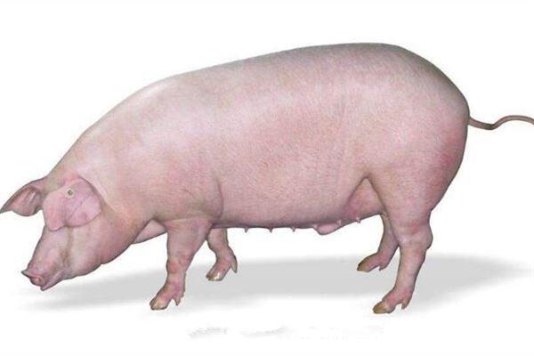 梦见大肥猪拱自己有什么含义?