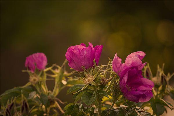 梦见野蔷薇_周公解梦梦到野蔷薇是什么意思_做梦梦见野蔷薇好不好