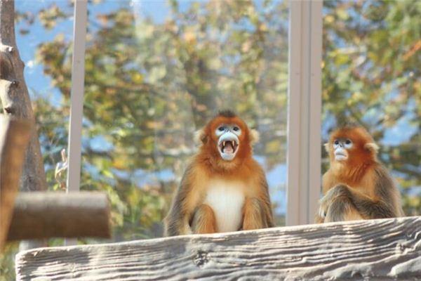 梦见金丝猴_周公解梦梦到金丝猴是什么意思_做梦梦见金丝猴好不好