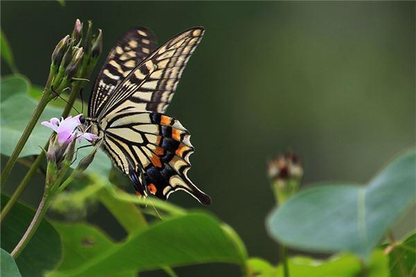 孕妇梦见蝴蝶_周公解梦 孕妇梦见蝴蝶是什么意思_孕妇梦见蝴蝶好不好