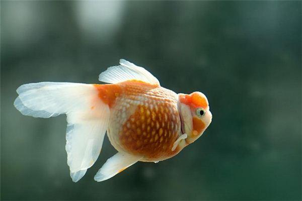 梦见鱼:梦活鱼吉,梦死鱼凶