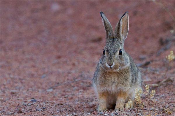 梦见野兔_周公解梦梦到野兔是什么意思_做梦梦见野兔好不好