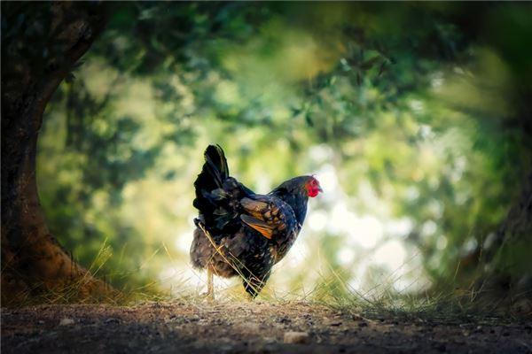 2017年属鸡人的性格_属鸡