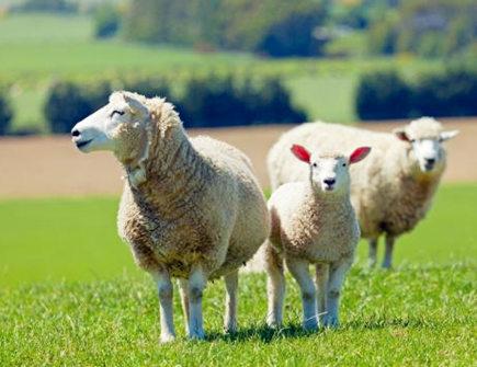 属羊人养鱼有什么讲究_属羊