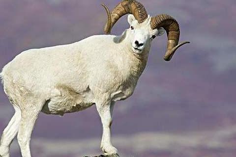 属羊人10月运势2020年 2020年属羊10月运势运程