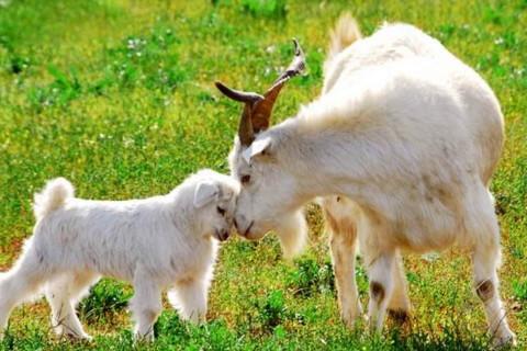 属羊人出生月命运 属羊女哪个月份生好