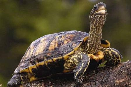 梦见乌龟是什么意思 他是好运的预兆吗