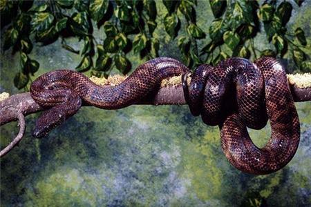 梦见大蟒蛇是什么意思 它是好运的征兆吗