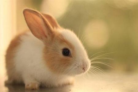 属兔女的性格和脾气如何 她们能否遇到自己的爱情
