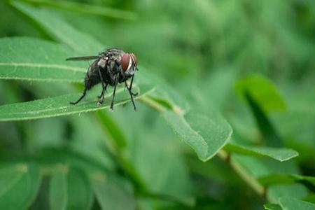 梦见苍蝇是什么意思 它是好运的预兆