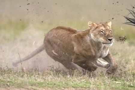 梦见狮子追我是什么意思 它是一种好运的征兆吗