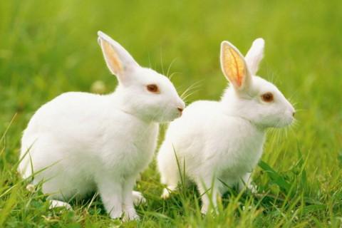 生肖属兔婚姻命运如何