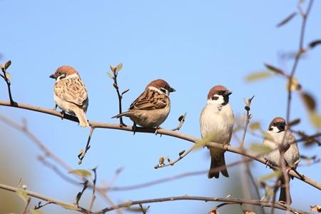 梦见麻雀是什么征兆 麻雀会带来丰收吗