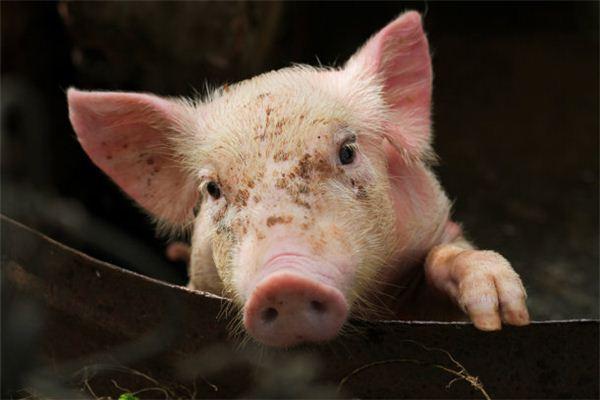 属猪女人的性格和脾气_属猪