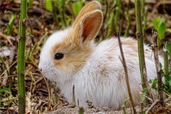属兔的人在今年桃花运怎样_属兔