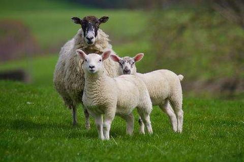 生于农历九月属羊人好不好命运