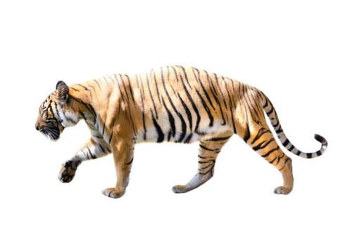 属虎男2022年本命年戴什么转运 2022年虎年生肖虎男本命年运程